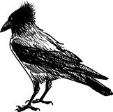 Angry crow Stock Images