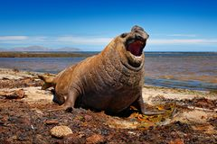 Angry danger animal. Male of Elephant seal lying in water pond, dark blue sky, Falkland Islands. Wildlife scene from nature. Anima. Angry danger animal. Male of stock photography