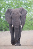 Angry and dangerous elephant bull charge along dirt road royalty free stock image