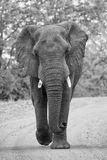 Angry and dangerous elephant bull charge along dirt road artisti Royalty Free Stock Images