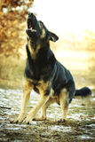 Angry dangerous young german shepherd dog puppy barks and defefe. Nse background Stock Photos