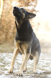 Angry dangerous young german shepherd dog puppy barks and defefe. Nse background Stock Photography