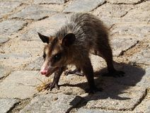 Angry Didelphis virginiana walking on the ground Stock Images