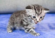 Disgruntled kitten. Emotions of a kitten. Meow. Angry disgruntled kitten. Emotions of a kitten. Meow Royalty Free Stock Photos