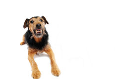 Angry dog. On the white background royalty free stock photography