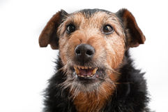 Angry dog. On the white background (focus on the nose royalty free stock image