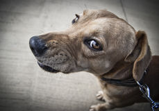 Angry dog. A young dog in leash baring its teeth as a sign of anger Stock Photos