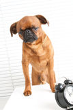Angry dog. On working place royalty free stock images