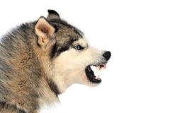 Angry dog Royalty Free Stock Photo