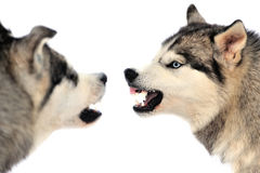 Angry dog. Angry siberian husky dog winter portrait royalty free stock photography