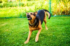 Angry dog attacks. The dog looks aggressive and dangerous. Happy, brown, rottweiler, park, summer, cute, aggression, animal, bark, barking, beautiful, breed stock photos