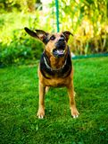 Angry dog attacks. The dog looks aggressive and dangerous. Happy, brown, rottweiler, park, summer, cute, aggression, animal, bark, barking, beautiful, breed royalty free stock photos