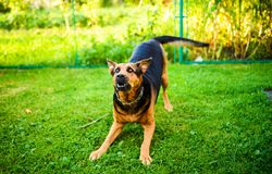 Angry dog attacks. The dog looks aggressive and dangerous. Happy, brown, rottweiler, park, summer, cute, aggression, animal, bark, barking, beautiful, breed royalty free stock image