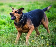 Angry dog attacks. The dog looks aggressive and dangerous. Aggression, animal, bark, barking, beautiful, breed, brown, canine, cute, domestic, enraged, fur stock photos