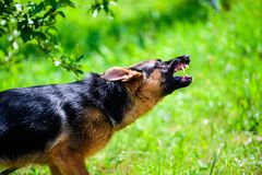 Angry dog attacks. The dog looks aggressive and dangerous. German Shepherd. Aggression, animal, bark, barking, beautiful, breed, brown, canine, cute, domestic stock images