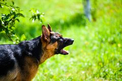 Angry dog attacks. The dog looks aggressive and dangerous. German Shepherd royalty free stock photo