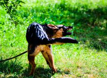 Angry dog attacks. The dog looks aggressive and dangerous. German Shepherd royalty free stock photos