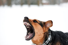 Angry dog with bared teeth Royalty Free Stock Photography