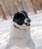 Angry dog with bared teeth. On the snow stock photos