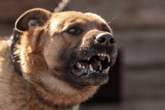 An angry dog barks near the house.  royalty free stock images