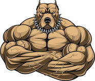 Angry dog bodybuilder. Vector illustration of a strong pitbull with muscles, bodybuilder, in front of a white background Royalty Free Stock Photos