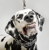 Angry dog dalmatian grins. Black and White dalmatian aggressive growls Stock Photography