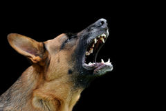 Angry dog on dark background Royalty Free Stock Images