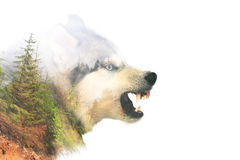 Angry dog. Double exposure. Angry siberian husky dog winter portrait. Double exposure royalty free stock photos