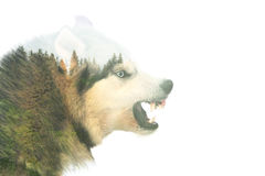Angry dog. Double exposure. Angry siberian husky dog winter portrait. Double exposure royalty free stock photo
