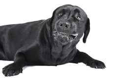 Angry dog (labrador). On a white background royalty free stock photography