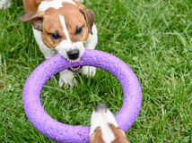 Angry dog pulling toy playing tug-of-war game Stock Images