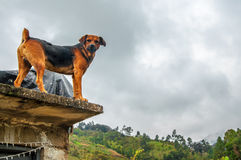 Angry Dog on a Roof. An angry looking dog staring at the camera royalty free stock photography