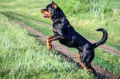 Angry dog Rottweiler. In nature stock photography