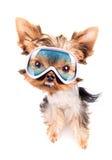 Angry dog with ski mask Royalty Free Stock Photography