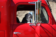 Angry dog truck driver. A dog in a red truck is very angry royalty free stock photography