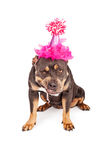 Angry Dog Wearing Pink Party Hat Royalty Free Stock Photography