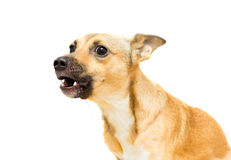 Angry doggy. On a white background isolated Royalty Free Stock Photos