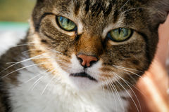 Free Angry Domestic Cat Looks Up Royalty Free Stock Image - 56003016
