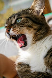 Angry domestic cat looks up. Angry domestic grey cat close up royalty free stock photo