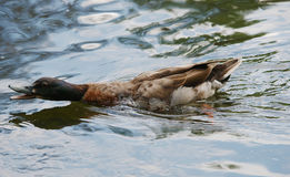 Angry Duck. An Angry Duck with open beak showing the ripples around it Stock Photo