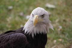 Angry Eagle Royalty Free Stock Photos