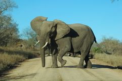 Angry elephant. Blocking the road Royalty Free Stock Photography