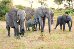Angry elephant bull and family Royalty Free Stock Photos