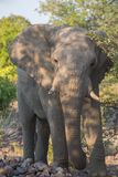 Angry elephant Royalty Free Stock Photography