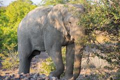 Angry elephant Stock Photography