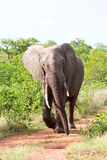 Angry elephant walking along road. In the morning sun fast Royalty Free Stock Photography