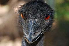 Angry emu royalty free stock images