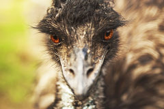 Angry emu Stock Photography
