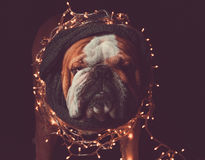 Angry English bulldog with Christmas lights Stock Images