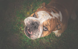 Angry English Bulldog looking up Royalty Free Stock Image